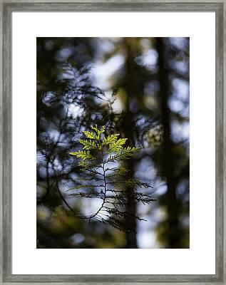 Evergreen Light Framed Print by Mike Reid