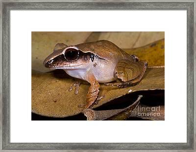 Evergreen Robber Frog Framed Print
