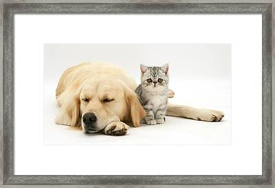 Exotic Kitten And Golden Retriever Framed Print