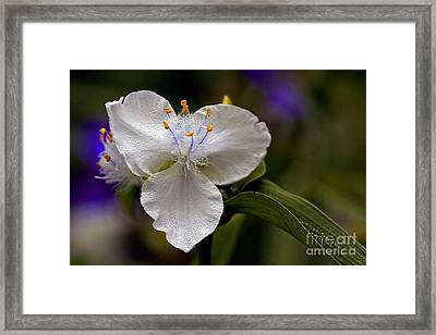Exotic Tradescantia Spiderwort Flower With Rain Drops Framed Print by Inspired Nature Photography Fine Art Photography