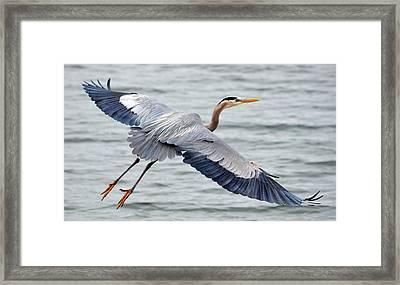 Extravagant Wingspan Framed Print by Fraida Gutovich