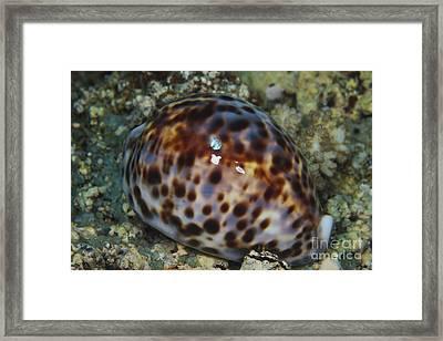 Extreme Close-up Of A Tiger Cowry, Fiji Framed Print