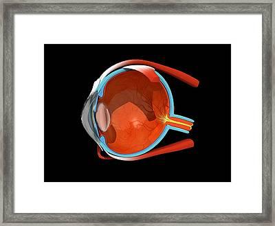 Eye Anatomy Framed Print by Jose Antonio PeÑas