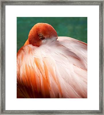 Eye Of The Flamingo Framed Print by Steven Heap