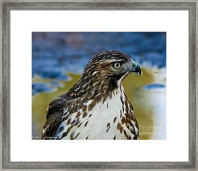 Framed Print featuring the photograph Eye Of The Hawk by Mitch Shindelbower
