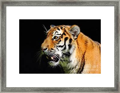 Eye Of The Tiger Framed Print by Holger Ostwald