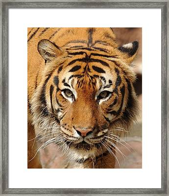 Framed Print featuring the photograph Eye Of The Tiger by Renee Hardison