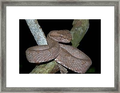 Eyelash Pit Viper Framed Print by JP Lawrence