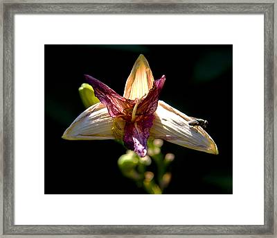 Faded Lily Framed Print by Michael Friedman