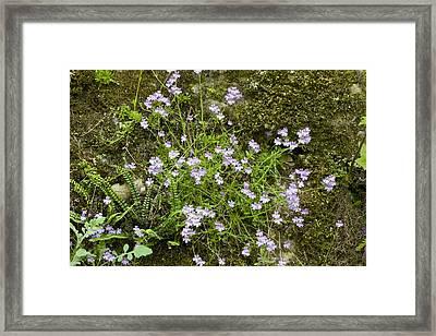 Fairy Foxgloves (erinus Alpinus) Framed Print