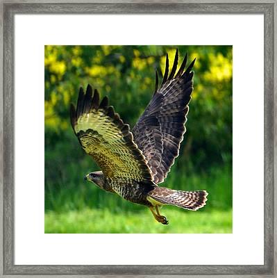 Falcon In Flight Framed Print
