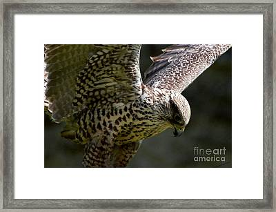 Falcon Taking Off Framed Print by Pravine Chester