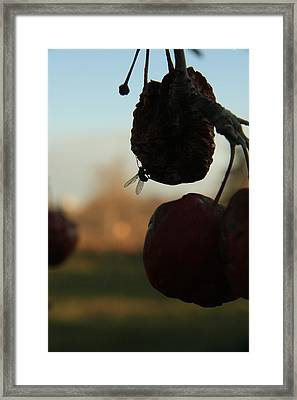 Fall Apples Framed Print