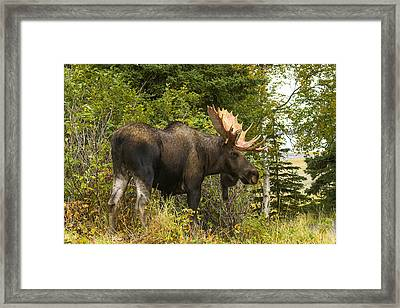 Framed Print featuring the photograph Fall Bull Moose by Doug Lloyd