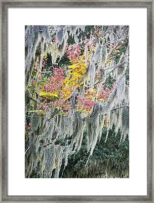 Fall Colors In Spanish Moss Framed Print by Carolyn Marshall