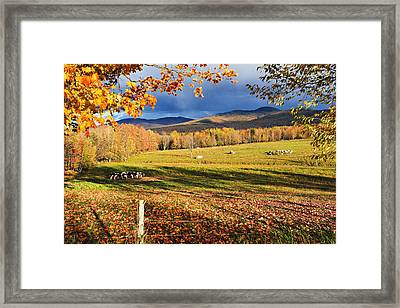 Fall Colours, Cows In Field And Mont Framed Print by Yves Marcoux