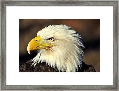 Fall Eagle 6 Framed Print by Marty Koch
