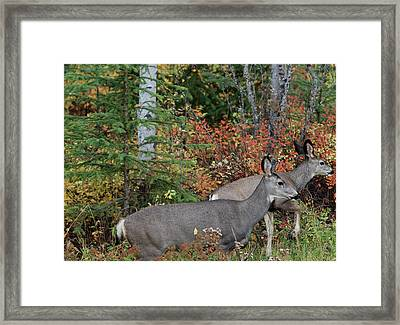 Fall Mule Deer Framed Print