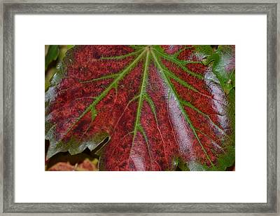 Fall On The Vine Framed Print by Kim Hymes