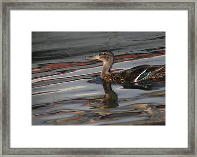 Fall Reflections And Duck Framed Print by Valia Bradshaw