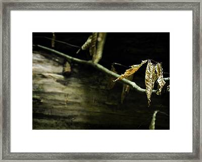 Fallen Beech Framed Print by Rebecca Sherman
