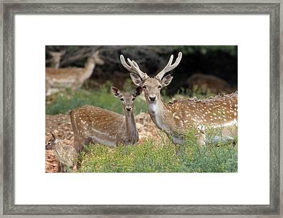 Fallow Deer Framed Print by Photostock-israel