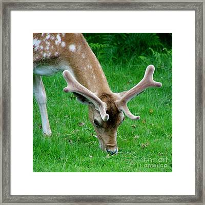 Fallow Deers Lunchtime Framed Print by Isabella F Abbie Shores