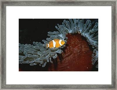 False Clown Anemonefish Framed Print by Wolcott Henry