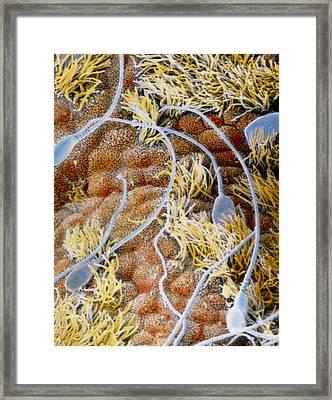 False-colour Sem Of Sperm In The Uterine Cavity Framed Print by Professors P.m. Motta & J. Van Blerkom