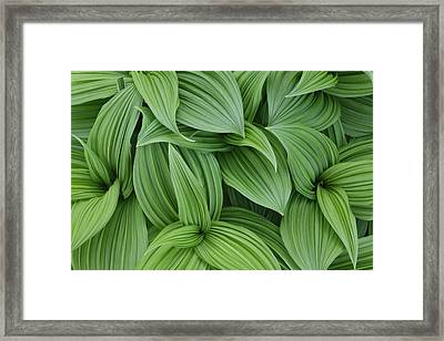 False Hellebore Pattern, Veratrum Californicum Framed Print by Adam Jones