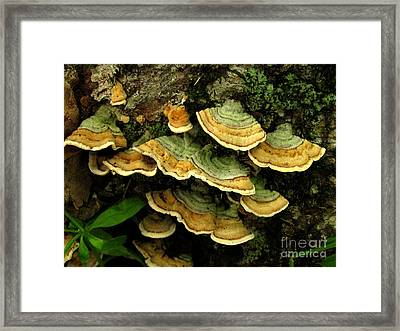 False Turkeytail Framed Print