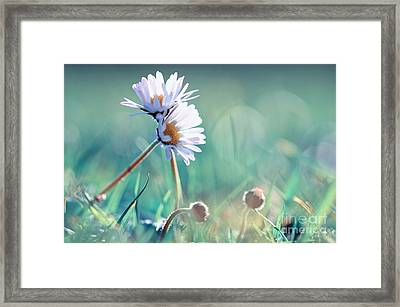 Family Of Daisy  Framed Print by Tanja Riedel