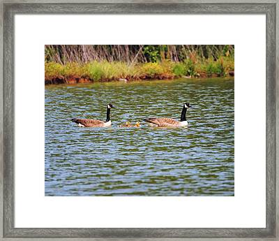 Family Of Geese Framed Print
