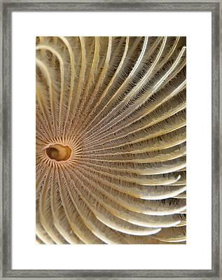Fan Worm Detail (bispira Volutacornis) Framed Print by Mark Webster Wwwphoteccouk
