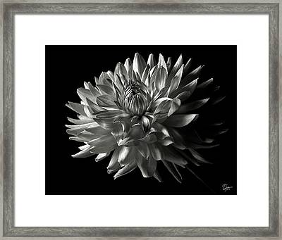 Fancy Dahlia In Black And White Framed Print