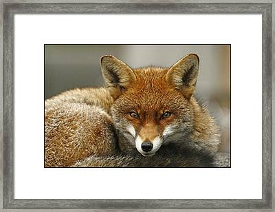 Fantastic Mr Fox Framed Print by Jacqui Collett