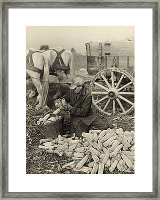 Farmer Collecting Husked Corn To Load Framed Print by Everett