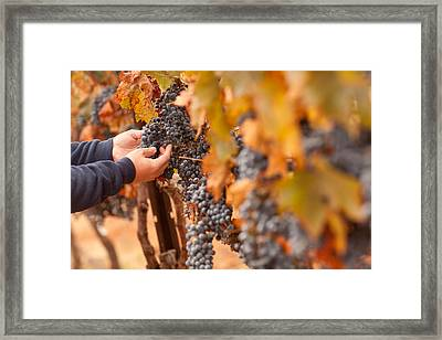 Farmer Inspecting His Ripe Wine Grapes Framed Print by Andy Dean