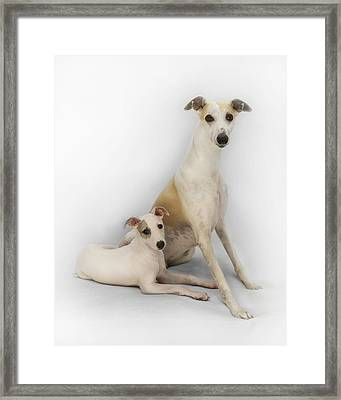 Father And Son Whippets Framed Print