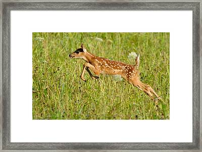 Fawn Bounce  Framed Print by Glenn Lawrence