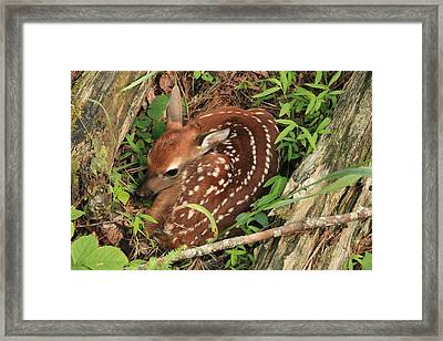 Framed Print featuring the photograph Fawn by Doug McPherson