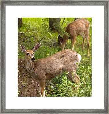 Fawn Having Lunch Framed Print by Darren Langlois