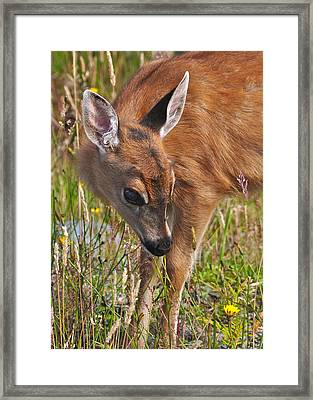 Fawn Meets Fly Framed Print by Guy Kimola