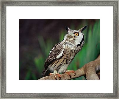 Fearful Owl Framed Print by Miguel Capelo