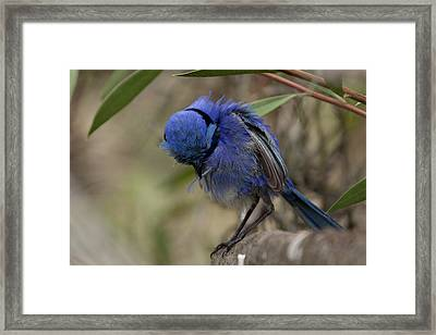 Feather Cleaning Framed Print