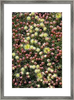 Featherflower (verticordia Brachypoda) Framed Print by Bob Gibbons