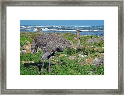 Feathers By The Sea Wild Female E African Ostrich Southern Race Cape Of Good Hope South Africa Framed Print by Jonathan Whichard