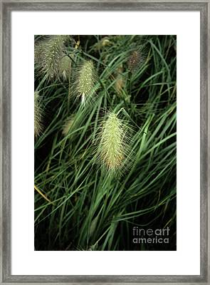 Feathertop Grass (pennisetum Villosum) Framed Print by Adrian Thomas