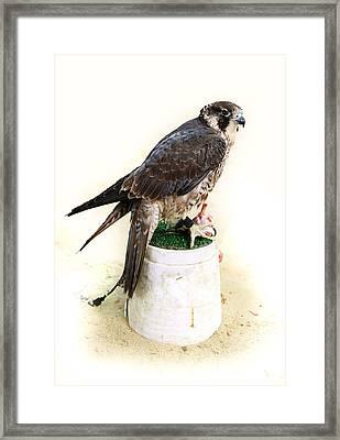 Feeding Falcon Framed Print by Paul Cowan