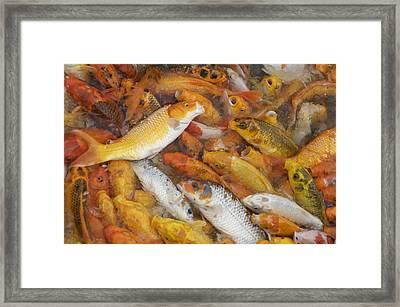 Feeding Frenzy Framed Print by Christopher Rowlands